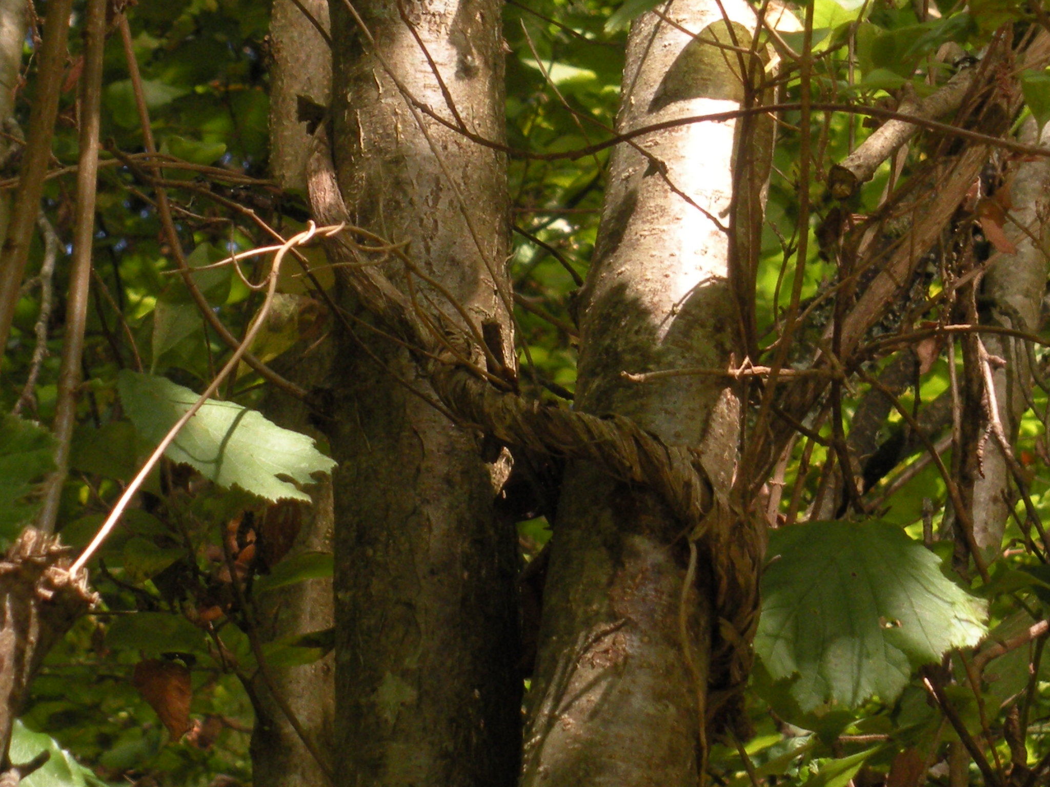 arbres enlacés